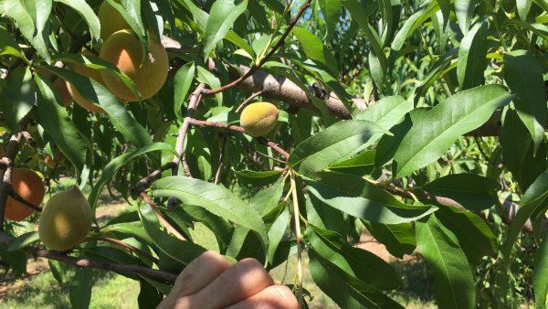 Get 'Em Now: Local Peach Shortage Looms