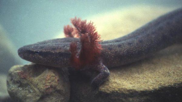 Unique Alabama Salamander Now Federally Protected