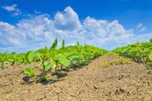 Soybean crop.