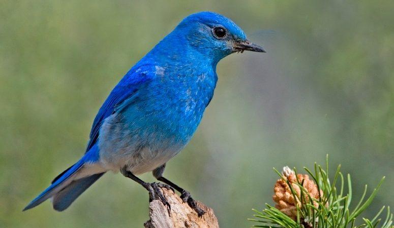 https://wbhm.org/wp-content/uploads/2011/04/bluebird-775x450.jpg
